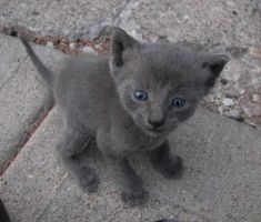 Kitten With Blue Eyes by ShilohGreenwald