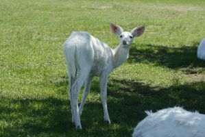 White Deer 3 by CastleGraphics