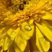 Yellow gerbera with drops by FrancescaDelfino