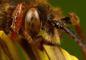 Nomada Bee by Alliec