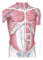 Thorax and Abdomen muscles by Brandebuque