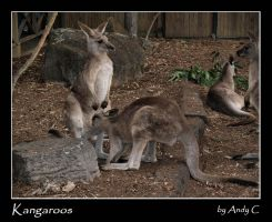 Kangaroos by 2Stupid2Duck