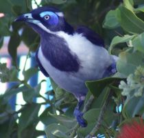 Blue Eyed Honeyeater 2 by SpectreOfShades