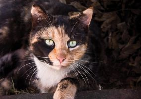 Calico Cat by CarissaGagashi