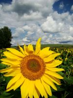 Sunflower by SniperOfSiberia