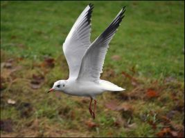 Gull Wings by FrankAndCarySTOCK