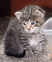 Kitten by food bowl by maximumgravity1