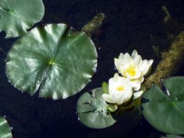 Water Lily 2 by Nikee97