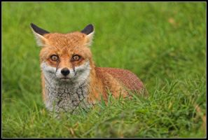 Killer Stare - Red Fox by nitsch