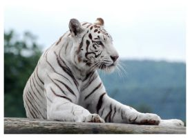 White Tiger 5 by WeAreAwake