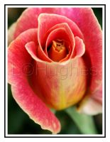 Rose by lehPhotography