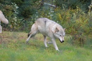 Gray Wolf Stock 20: Running by HOTNStock