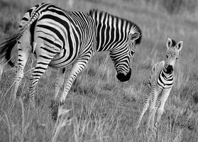 Zebra Mother And Baby by Danie-07