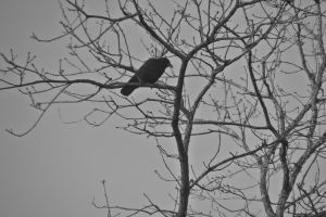 Solo Crow by JeremyC-Photography