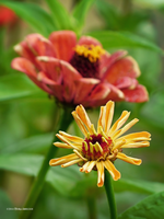 Zinnia opening by Mogrianne