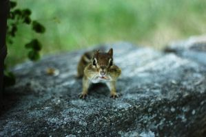 Chipmunk by Adrienneknott
