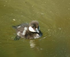 Common Goldeneye - duckling by decors