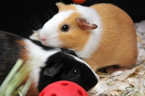 CPR Guinea Pigs VIII by LDFranklin