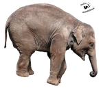 Cut-out stock PNG 103 - playing young elephant by Momotte2stocks