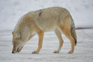 Coyote Takes Olfactory Offense by drigulch