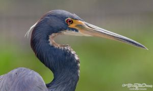 Tri-colored Heron by barryowens