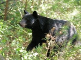 black bear 3 by redtailhawker