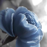 Blue rose... by xxida