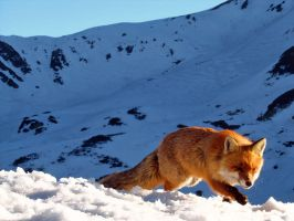 Fox in Munti Retezat by Vandermiet