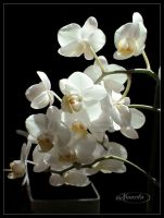 Light and Shadow Orchids by Nameda