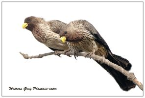 Western-Grey Plantain-eaters by Jamie-MacArthur