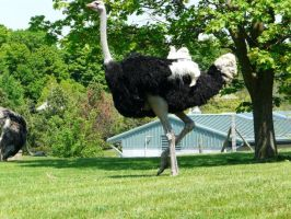 Ostrich 09 by Unseelie-Stock