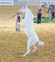 STOCK - Cremello Part Arabian Rear 4 by fillyrox