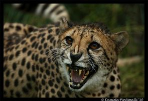 Angry Cheetah by TVD-Photography