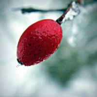 Red Berry II by sapphireswimming