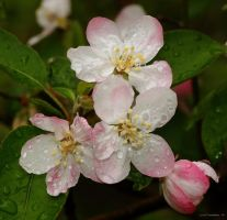 Crab Apple blossoms by natureguy