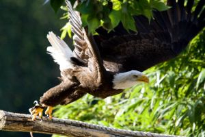 6332 - Bald eagle by Jay-Co