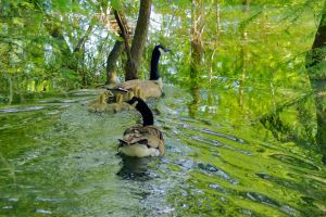 Geese Family 2015 03 by EJordanPhoto
