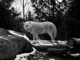 Arctic Wolf by roamingtigress