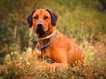 Alba, the ridgeback by lucinatorka