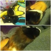 Meet Nimble The Guinea Pig by superpiplup2011