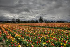 Tulip Fields by danporter