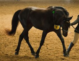 STOCK - 2014 Andalusian Nationals-222 by fillyrox