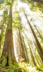 Redwoods by MJWarePhotography
