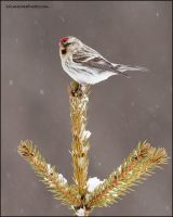 Hoary Redpoll by gregster09