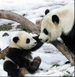 Baby Panda with Mother by wolfpack809