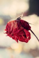 The song of the rose is heard with the nose by BlueColoursOfNature
