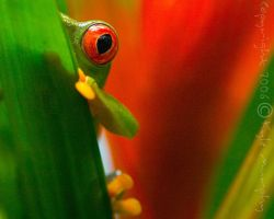 Tree Frog from Belize by kaymanism