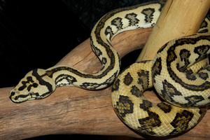 Jaguar Carpet by ambushreptiles