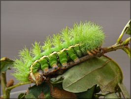Automeris randa caterpillar - 2 by J-Y-M