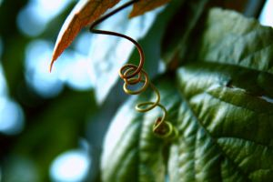 tendril 1 by stockofshutterbugmom